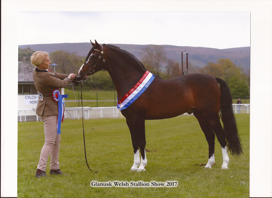 Janpete Tom Thumb 90713 photo credit 1st Class images Sire Tiavoric Legacy 71199 Dam Cadlanvalley venus 122886 welsh b stallion