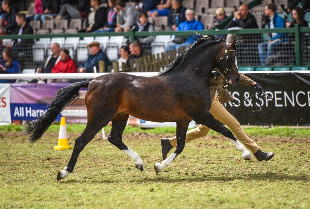 Stallion Janpete Tom Thumb 90713 photo credit Equine Pix Photography sire Tiavoirc Legacy 71199 Dam Cadlanvalley Venus 12286
