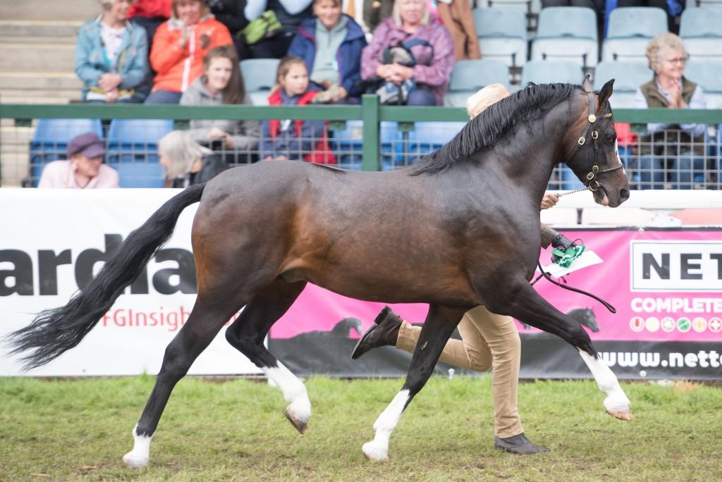 Stallion Janpete Tom Thumb 90713 photo credit Vivian Heson Fotografie sire Tiavoirc Legacy 71199 Dam Cadlanvalley Venus 12286